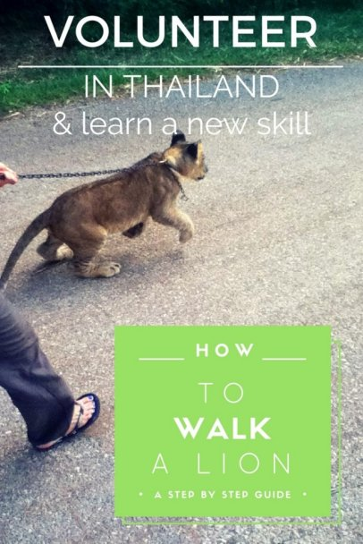 How to Walk a Lion. Volunteering with animals in Thailand