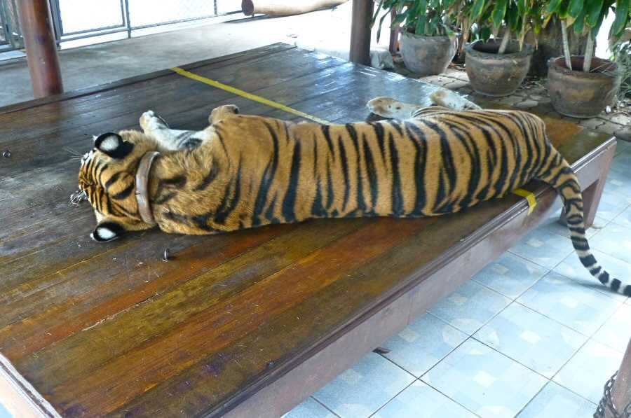 Volunteer in Thailand and help improve conditions for captive wildlife