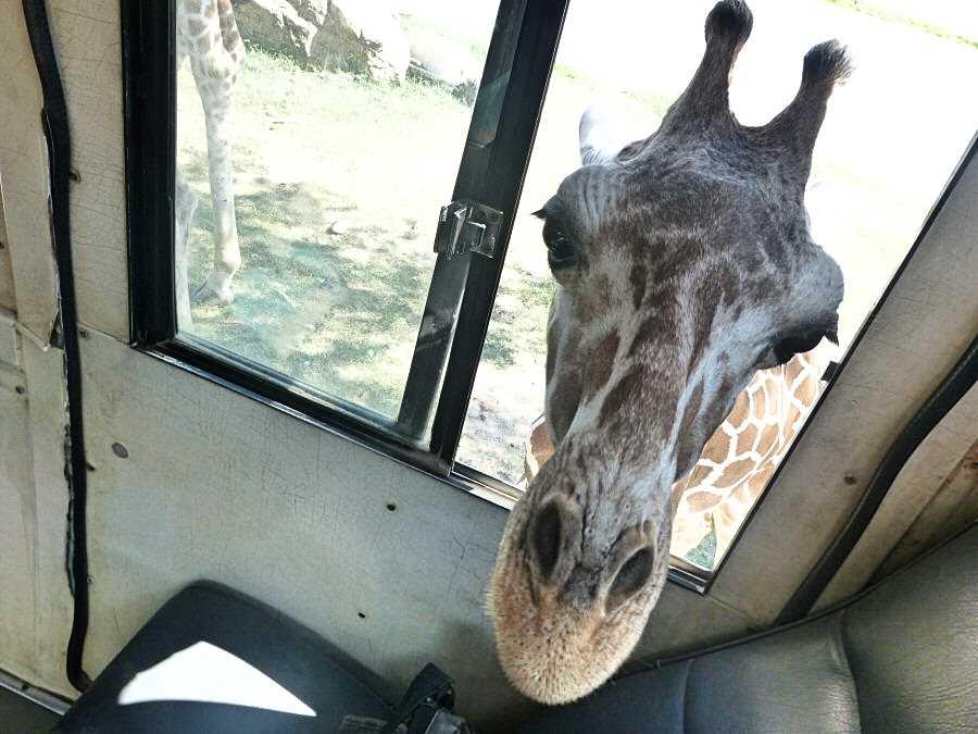 You will have a giraffe volunteering near Kanchanaburi in Thailand