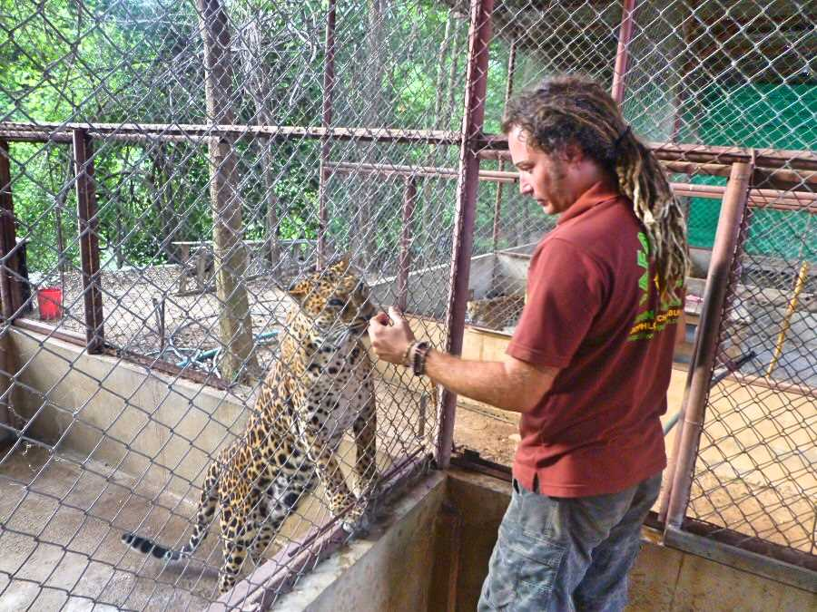 Ned feeds a leopard. Tat and Ned set up the Safari Park Volunteer Initiative