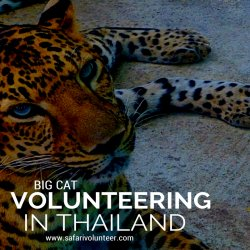 Big Cat Volunteering in Thailand