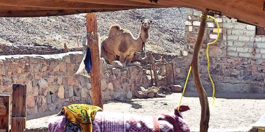 A camel thinks about sticking its head in the toilet