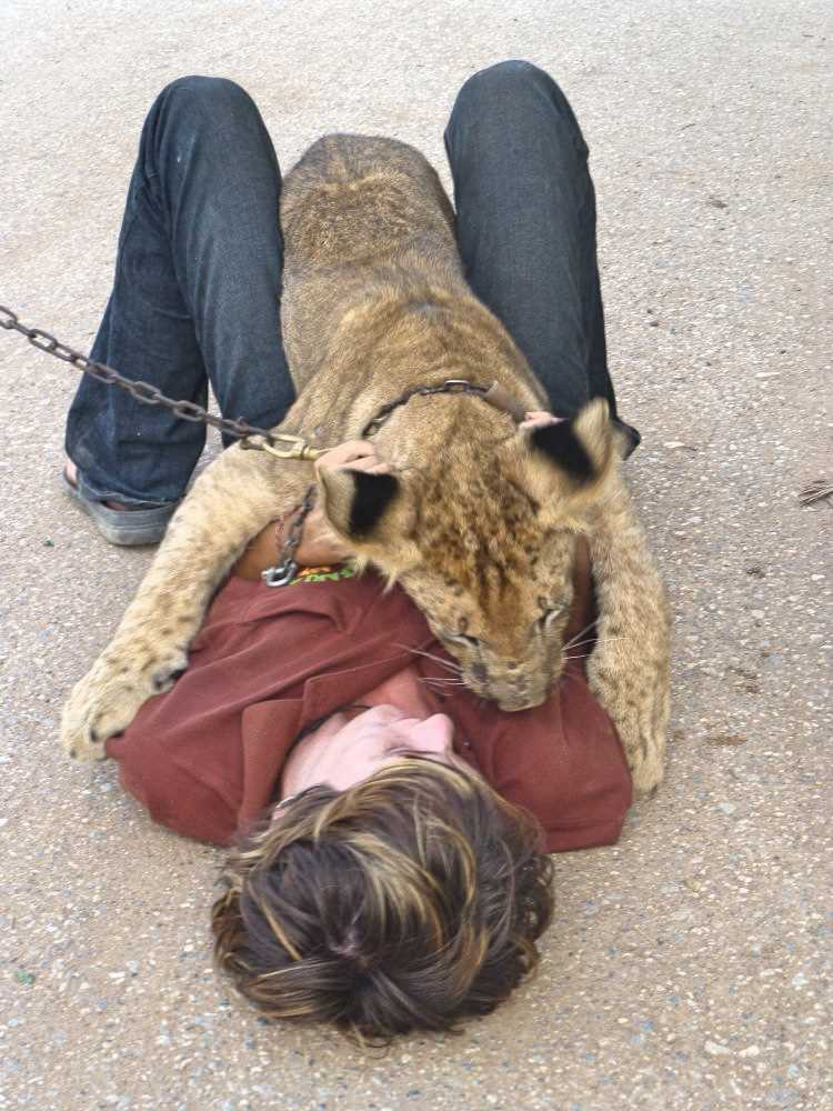 Lion eats a volunteer